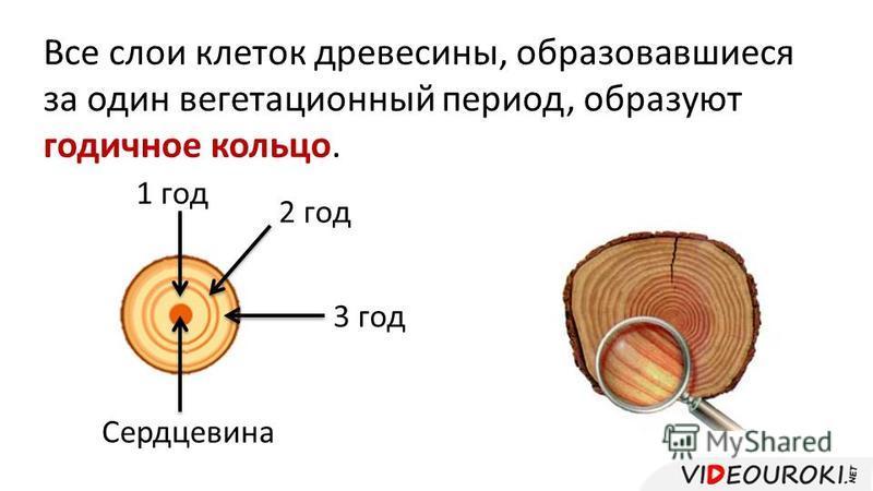 Все слои клеток древесины, образовавшиеся за один вегетационный период, образуют годичное кольцо. 1 год Сердцевина 2 год 3 год