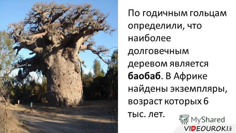 По годичным гольцам определили, что наиболее долговечным деревом является баобаб. В Африке найдены экземпляры, возраст которых 6 тыс. лет.
