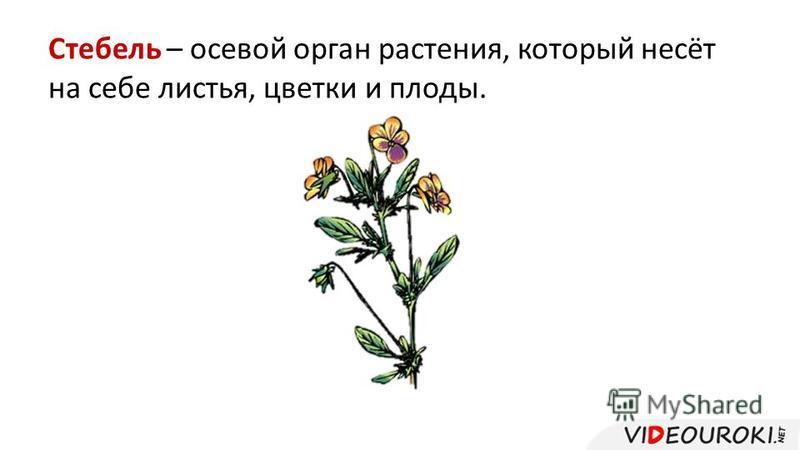 Стебель – осевой орган растения, который несёт на себе листья, цветки и плоды.