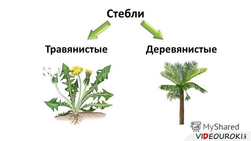 Стебли Травянистые Деревянистые