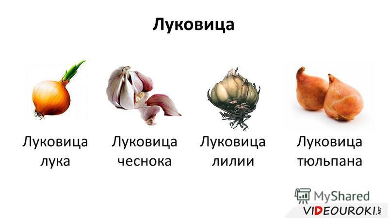 Луковица Луковица лука Луковица чеснока Луковица лилии Луковица тюльпана