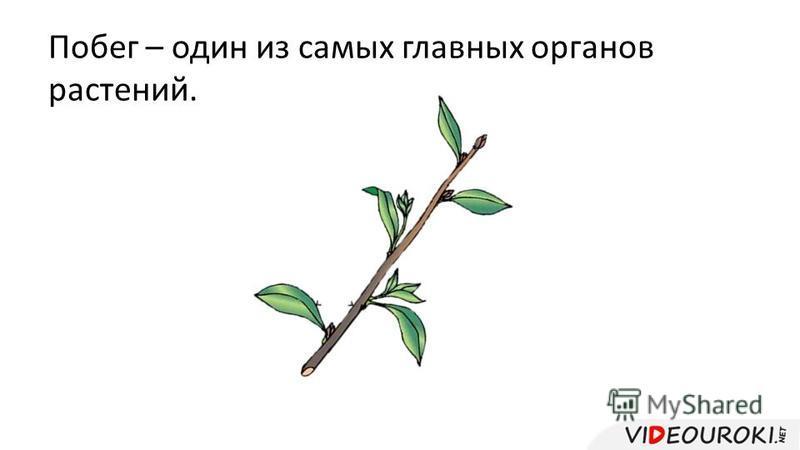 Побег – один из самых главных органов растений.