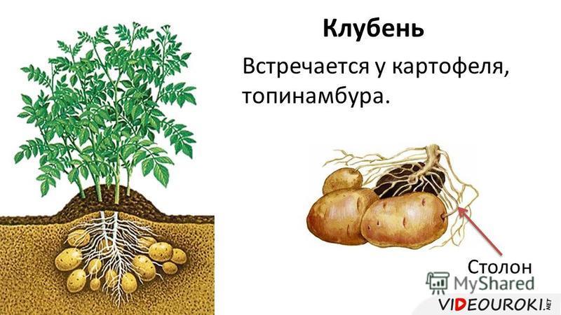 Клубень Встречается у картофеля, топинамбура. Столон