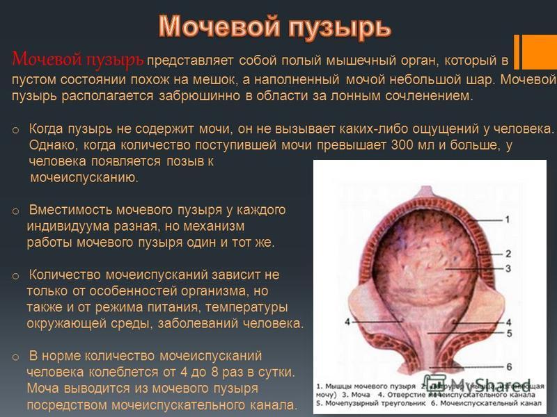 Мочевой пузырь представляет собой полый мышечный орган, который в пустом состоянии похож на мешок, а наполненный мочой небольшой шар. Мочевой пузырь располагается забрюшинной в области за лонным сочленением. o Когда пузырь не содержит мочи, он не выз