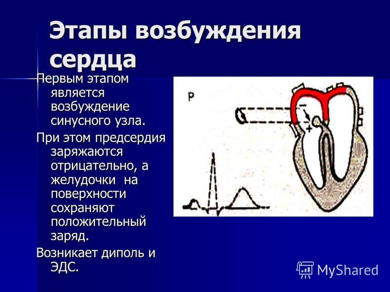 Этапы возбуждения сердца Первым этапом является возбуждение синусного узла. При этом предсердия заряжаются отрицательно, а желудочки на поверхности сохраняют положительный заряд. Возникает диполь и ЭДС.