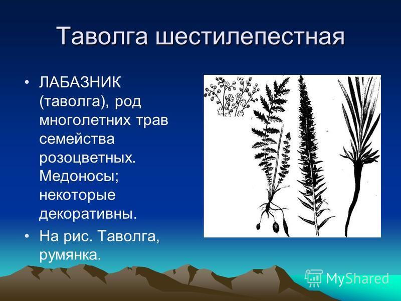 Таволга шестилепестная ЛАБАЗНИК (таволга), род многолетних трав семейства розоцветных. Медоносы; некоторые декоративны. На рис. Таволга, румянка.