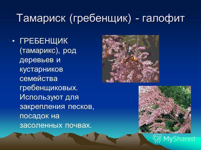 Тамариск (гребенщик) - галофит ГРЕБЕНЩИК (тамарикс), род деревьев и кустарников семейства гребенщиковых. Используют для закрепления песков, посадок на засоленных почвах.