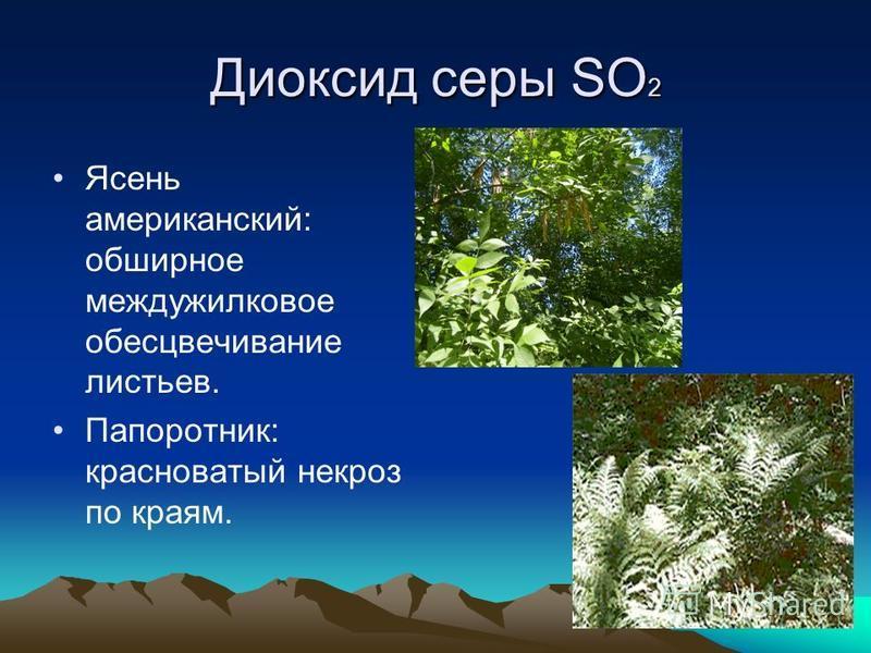 Диоксид серы SO 2 Ясень американский: обширное междужилковое обесцвечивание листьев. Папоротник: красноватый некроз по краям.