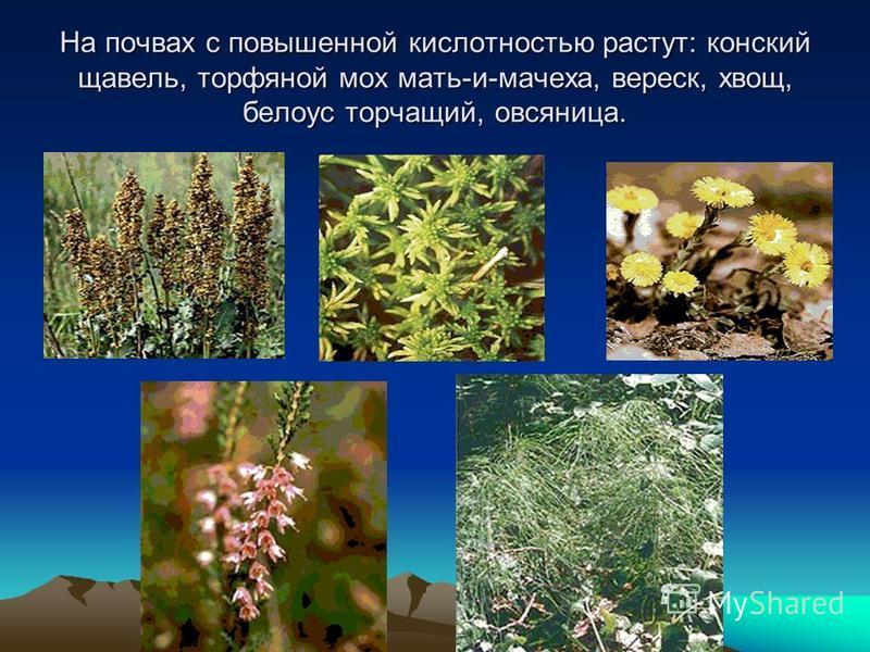 На почвах с повышенной кислотностью растут: конский щавель, торфяной мох мать-и-мачеха, вереск, хвощ, белоус торчащий, овсяница.