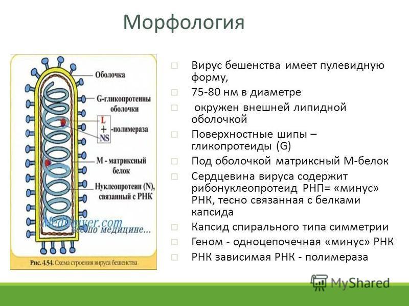 Морфология Вирус бешенства имеет пулевидную форму, 75-80 нм в диаметре окружен внешней липидной оболочкой Поверхностные шипы – гликопротеиды (G) Под оболочкой матриксный М-белок Сердцевина вируса содержит рибонуклеопротеид РНП= «минус» РНК, тесно свя