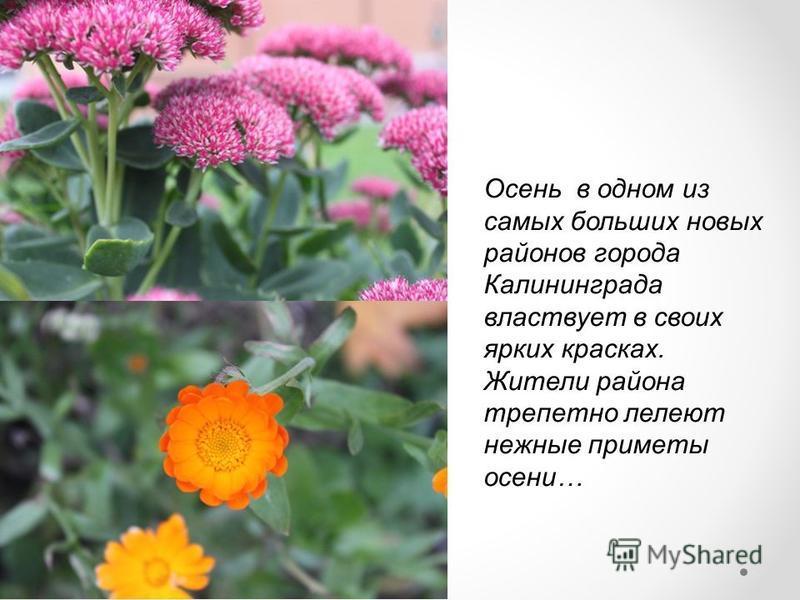 Осень в одном из самых больших новых районов города Калининграда властвует в своих ярких красках. Жители района трепетно лелеют нежные приметы осени…