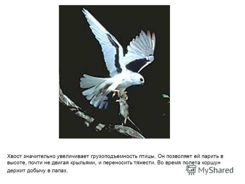 Хвост значительно увеличивает грузоподъемность птицы. Он позволяет ей парить в высоте, почти не двигая крыльями, и переносить тяжести. Во время полета коршун держит добычу в лапах.