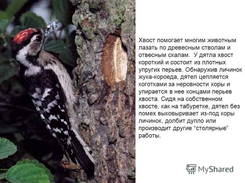 Хвост помогает многим животным лазать по древесным стволам и отвесным скалам. У дятла хвост короткий и состоит из плотных упругих перьев. Обнаружив личинок жука-короеда, дятел цепляется коготками за неровности коры и упирается в нее концами перьев хв