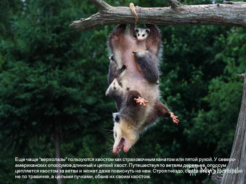 Еще чаще верхолазы пользуются хвостом как страховочным канатом или пятой рукой. У северо- американских опоссумов длинный и цепкий хвост. Путешествуя по ветвям деревьев, опоссум цепляется хвостом за ветви и может даже повиснуть на нем. Строя гнездо, с