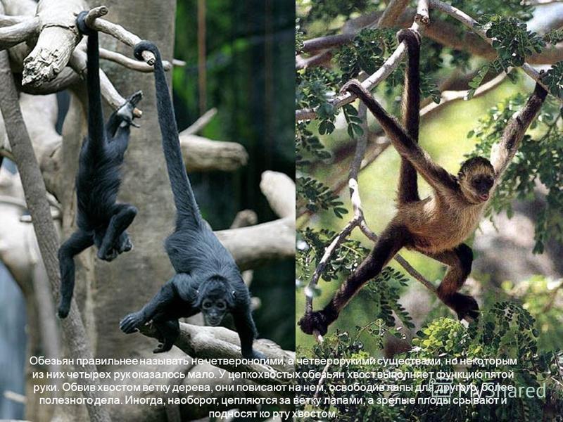 Обезьян правильнее называть не четвероногими, а четверорукими существами, но некоторым из них четырех рук оказалось мало. У цепкохвостых обезьян хвост выполняет функцию пятой руки. Обвив хвостом ветку дерева, они повисают на нем, освободив лапы для д