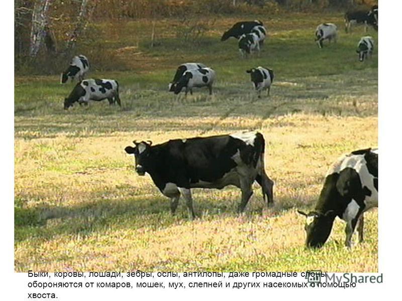 Быки, коровы, лошади, зебры, ослы, антилопы, даже громадные слоны обороняются от комаров, мошек, мух, слепней и других насекомых с помощью хвоста.