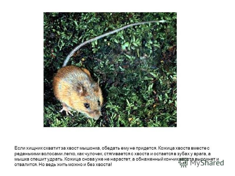 Если хищник схватит за хвост мышонка, обедать ему не придется. Кожица хвоста вместе с реденькими волосами легко, как чулочек, стягивается с хвоста и остается в зубах у врага, а мышка спешит удрать. Кожица снова уже не нарастет, а обнаженный кончик хв