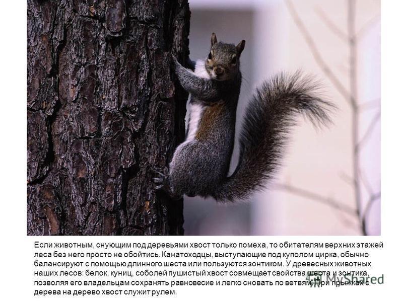 Если животным, снующим под деревьями хвост только помеха, то обитателям верхних этажей леса без него просто не обойтись. Канатоходцы, выступающие под куполом цирка, обычно балансируют с помощью длинного шеста или пользуются зонтиком. У древесных живо