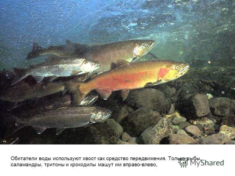 Обитатели воды используют хвост как средство передвижения. Только рыбы, саламандры, тритоны и крокодилы машут им вправо-влево,