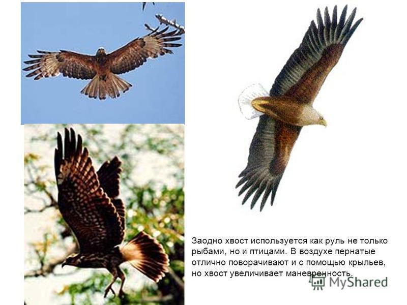 Заодно хвост используется как руль не только рыбами, но и птицами. В воздухе пернатые отлично поворачивают и с помощью крыльев, но хвост увеличивает маневренность.