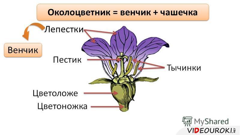 Лепестки Околоцветник = венчик + чашечка Венчик