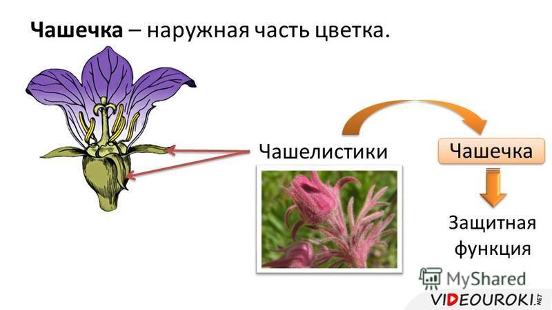 Чашечка – наружная часть цветка. Чашелистики Чашечка Защитная функция
