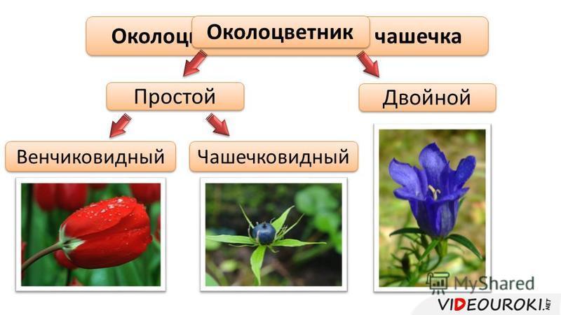 Околоцветник = венчик + чашечка Околоцветник Простой Двойной Чашечковидный Венчиковидный