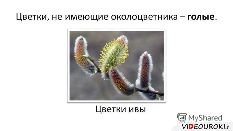 Цветки, не имеющие околоцветника – голые. Цветки ивы