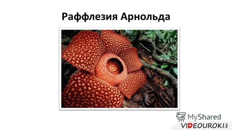 Раффлезия Арнольда