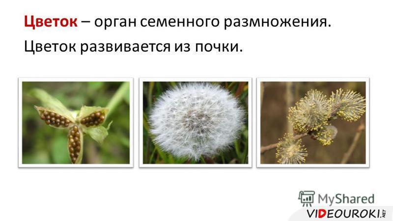 Цветок – орган семенного размножения. Цветок развивается из почки.