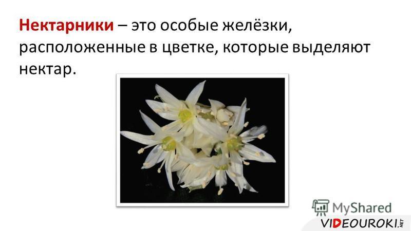 Нектарники – это особые желёзки, расположенные в цветке, которые выделяют нектар.