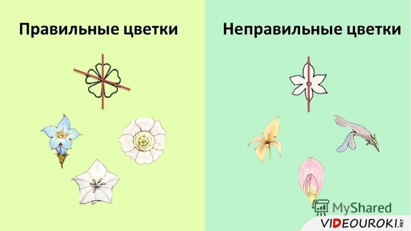 Правильные цветки Неправильные цветки