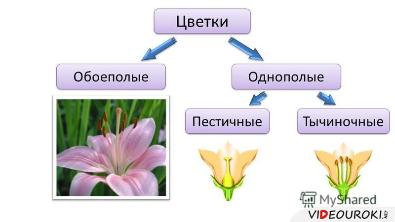 Цветки Обоеполые Однополые Тычиночные Пестичные