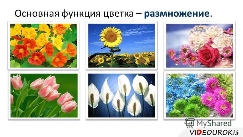 Основная функция цветка – размножение.