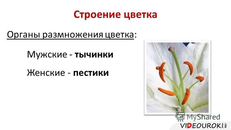 Строение цветка Органы размножения цветка: Мужские - тычинки Женские - пестики