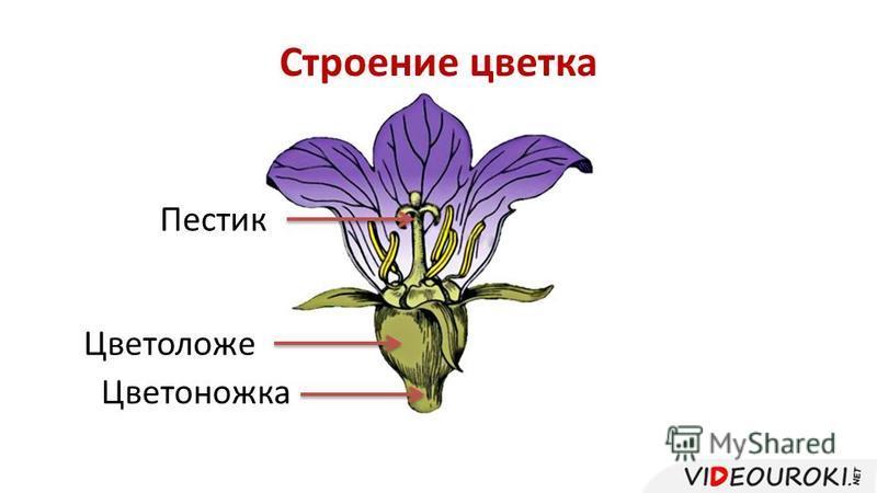 Строение цветка Цветоножка Цветоложе Пестик