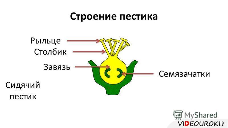 Строение пестика Рыльце Столбик Завязь Семязачатки Сидячий пестик