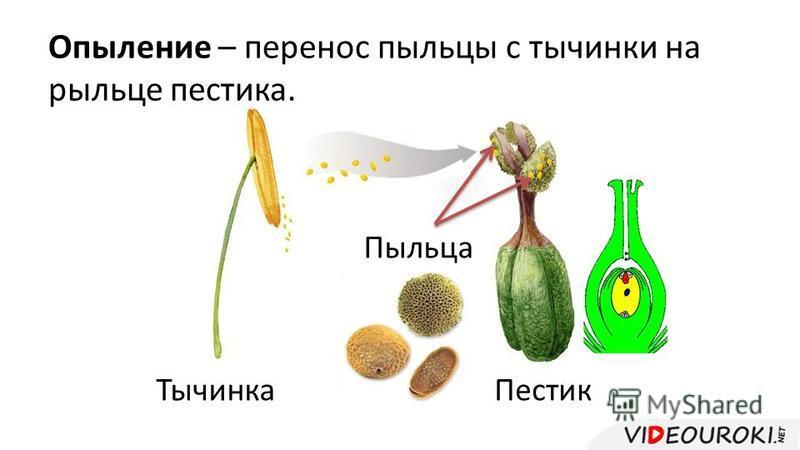 Опыление – перенос пыльцы с тычинки на рыльце пестика. Пыльца Тычинка Пестик