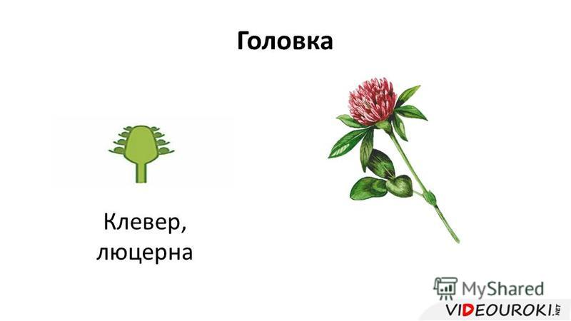 Головка Клевер, люцерна