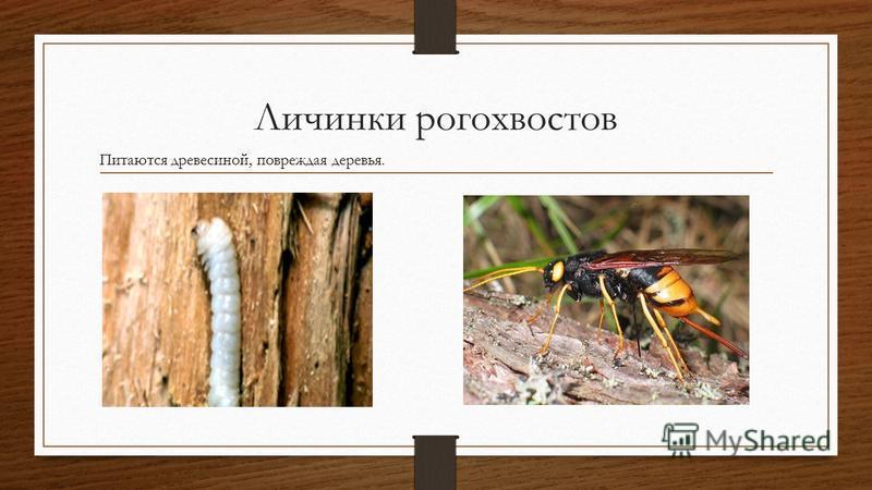 Личинки рогохвостов Питаются древесиной, повреждая деревья.