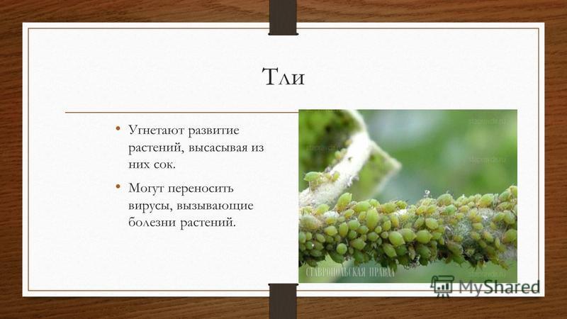 Тли Угнетают развитие растений, высасывая из них сок. Могут переносить вирусы, вызывающие болезни растений.