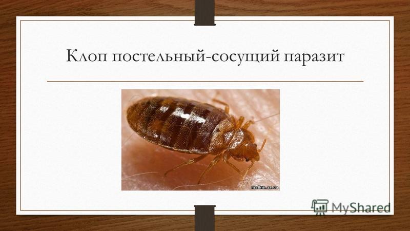 Клоп постельный-сосущий паразит