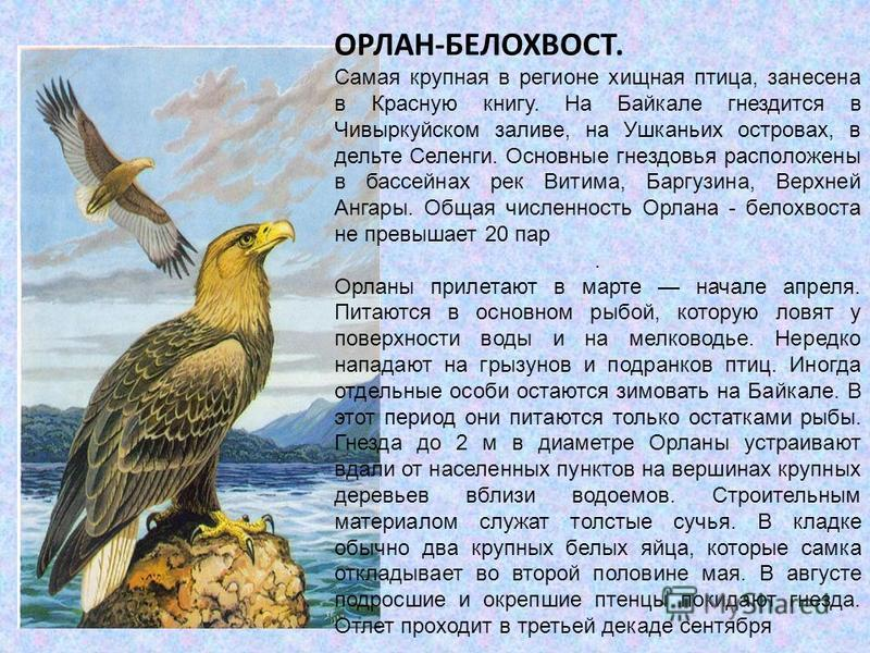 ОРЛАН-БЕЛОХВОСТ. Самая крупная в регионе хищная птица, занесена в Красную книгу. На Байкале гнездится в Чивыркуйском заливе, на Ушканьих островах, в дельте Селенги. Основные гнездовья расположены в бассейнах рек Витима, Баргузина, Верхней Ангары. Общ