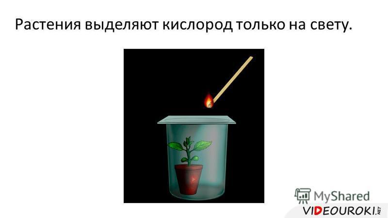 Растения выделяют кислород только на свету.