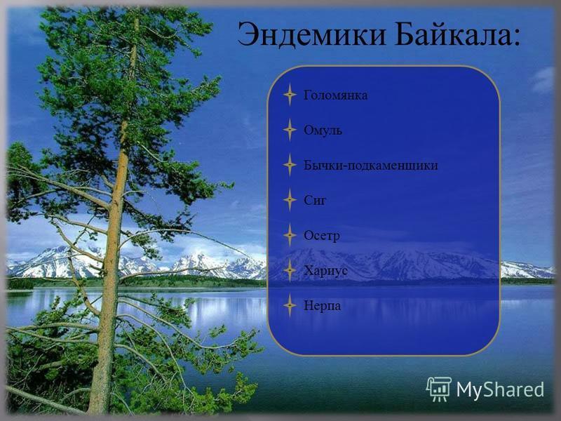Эндемики Байкала: Голомянка Омуль Бычки - подкаменщики Сиг Осетр Хариус Нерпа
