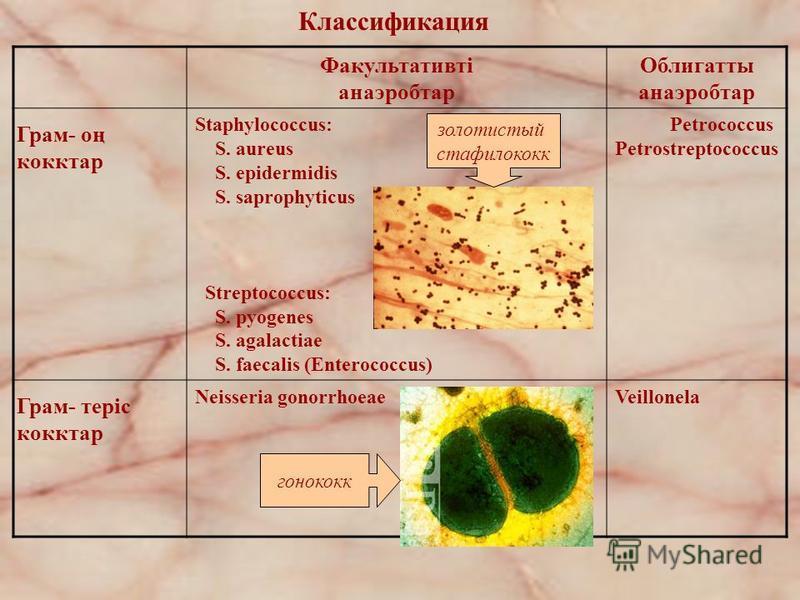Классификация Факультативті анаэробтар Облигатты анаэробтар Грам- оң кокктар Staphylococcus: S. aureus S. epidermidis S. saprophyticus Streptococcus: S. pyogenes S. agalactiae S. faecalis (Enterococcus) Petrococcus Petrostreptococcus Грам- теріс кокк