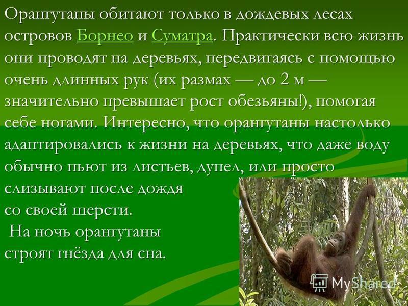 Орангутаны крупные обезьяны. Рост самцов может достигать 1,5 м, масса – до 189 кг; самок – до 80 кг. Телосложение массивное, сильно развита мускулатура. Задние конечности короткие, передние очень длинные, доходят до лодыжек. Волосяной покров редкий,