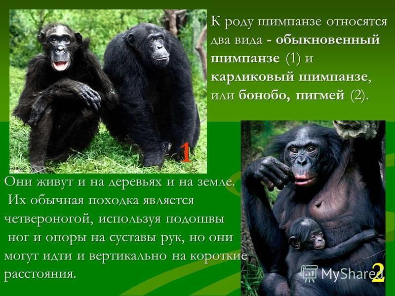 ШИМПАНЗЕ наиболее сообразительные и пластичные в поведении приматы. Они обитают в дождевых тропических лесах Африки. Шимпанзе кочуют по своей территории семейными группами из самца, нескольких самок и их потомства. Примерно через 230 дней беременност