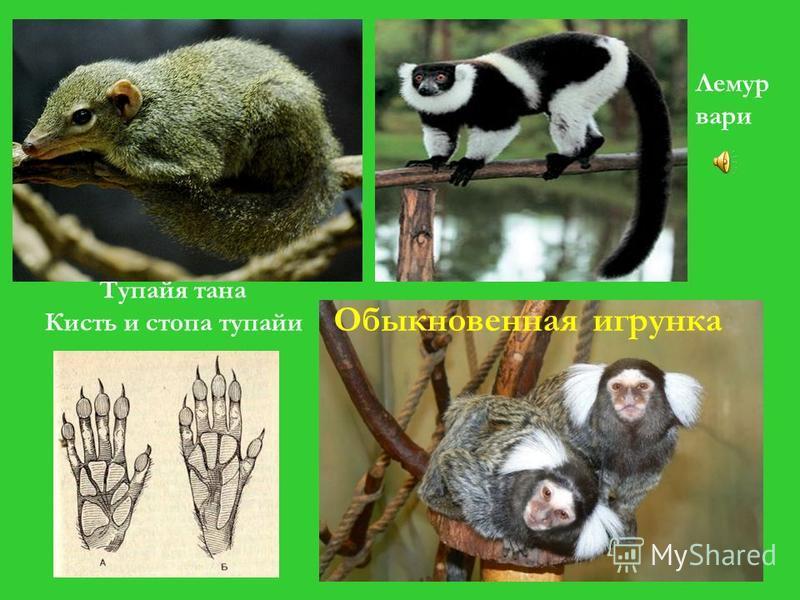 Подотряд низшие обезьяны, или Полуобезьяны Мелкие зверьки, покрыты густой шерстью Мелкие зверьки, покрыты густой шерстью Хвост длинный, густоопушённый Хвост длинный, густоопушённый Большой палец не у всех противостоит остальным Большой палец не у все