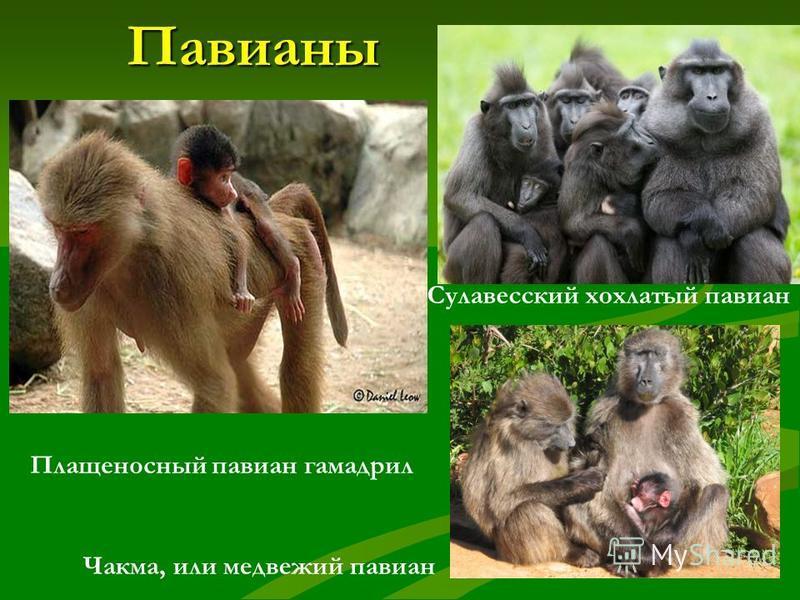 Семейство широконосые обезьяны 1 2 3 1.Розалия 2.Коата 3. Саймири Коата – «паукообразная обезьяна»